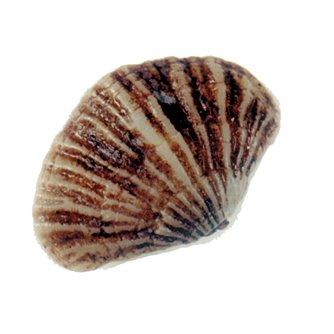 Terebratella - Lamp Shell