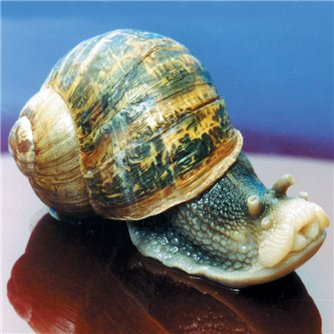 Snail - Land, Helix