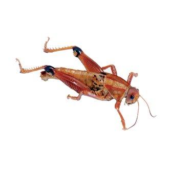 Grasshopper - Plain