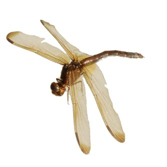Dragonfly Adult