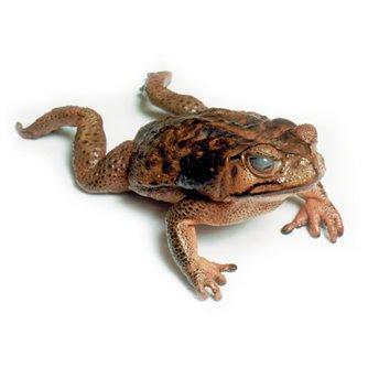Bufo Marinus - Marine Toad Plain