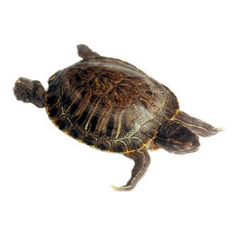 Turtle - Plain