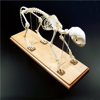 Cat Skeleton - Articulated & Mounted