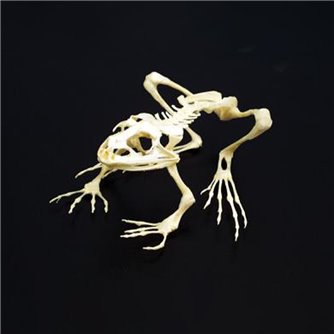 Grassfrog Skeleton - Articulated & Unmounted