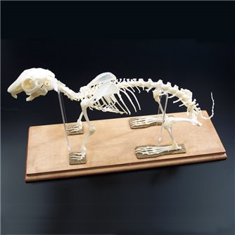 Rabbit Skeleton - Articulated & Mounted