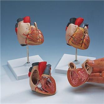 Heart 2-Part