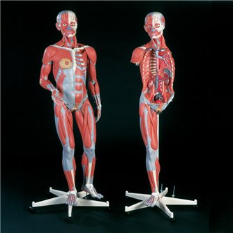 Dual Sex Muscular Anatomy