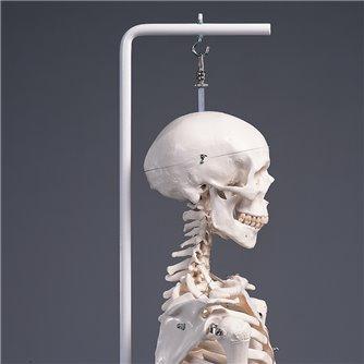 Standard Human Skeleton Suspended - Stan