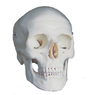 Skull 3-Part