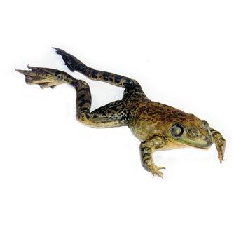 Bullfrog - Formalin Plain