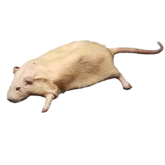 Rat - Plain