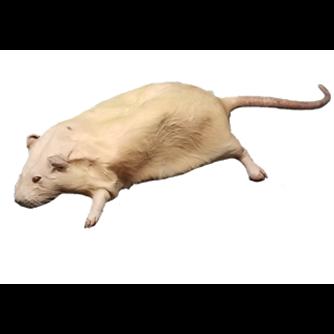 Rats - Formalin Free Plain