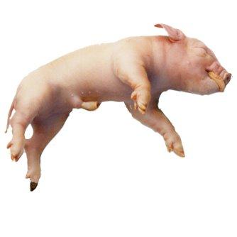 Fetal Pig - Plain