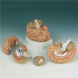 Brain 4 - Part