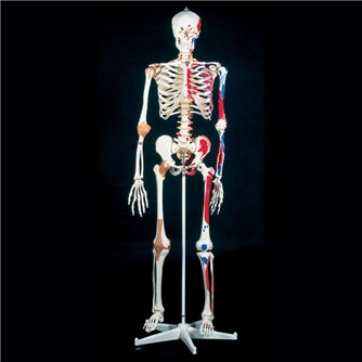 Super Human Skeleton - Sam