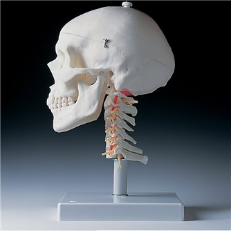 Skull on Cervical Spine