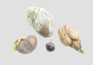 Mammal Organs Set