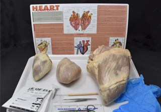 Comparative Mammalian Heart Kit