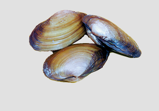 Clam - Freshwater