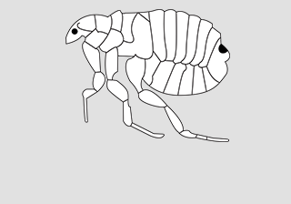 Dog Flea (Ctenocephus)