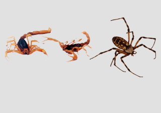 Tarantula, Scorpion & Spiders