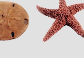 Starfish & Other Echinoderms