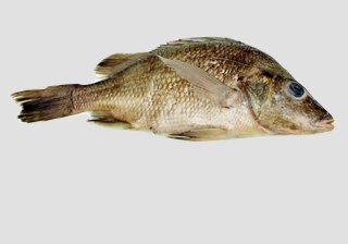 Mexican Perch