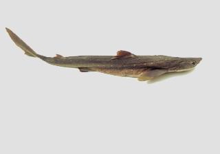 Sharks - Adults
