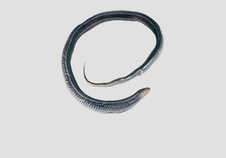 Snakes - Natrix, Garter