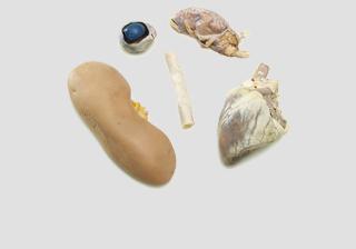 Mammal - Organs