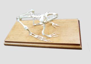 Real Bone Skeletons