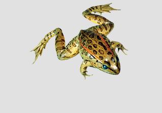 Grassfrog - Formalin
