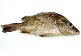 Mexican Perch - Formalin