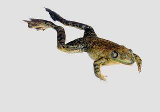 Bullfrogs - Formalin