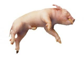 Fetal Pigs - Formalin