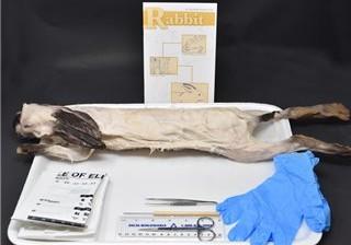 Rabbit Anatomy Kit